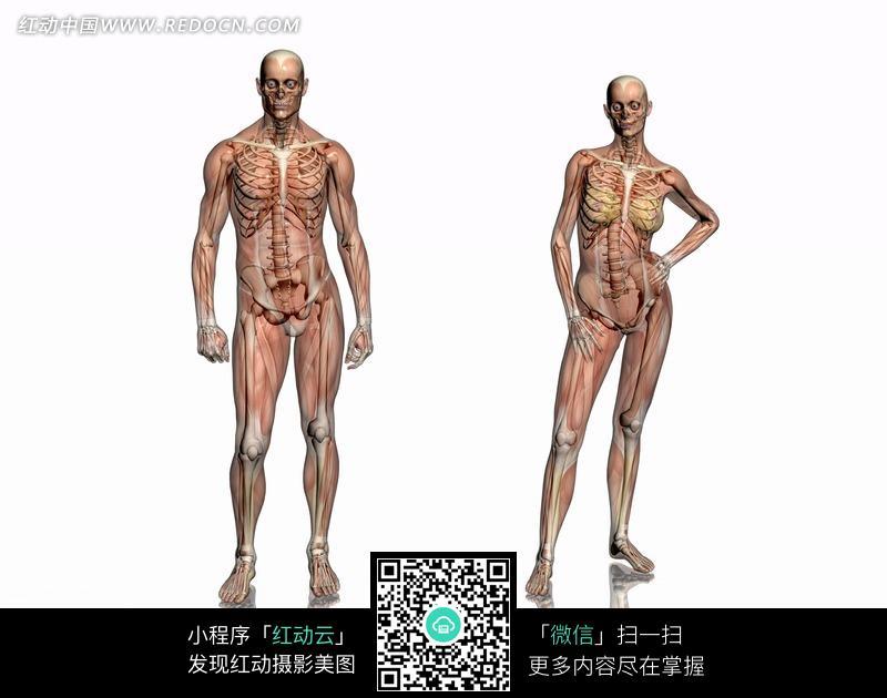 男女正面肌肉骨骼结构图图片
