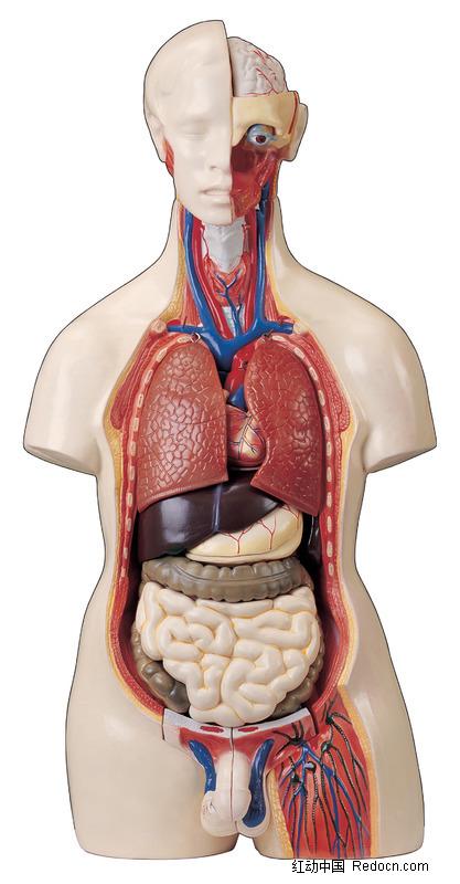 女性身体器官正面图图片