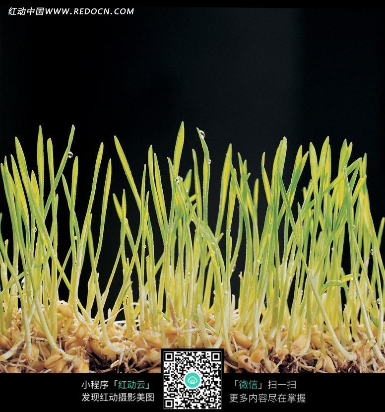 豆芽根横切结构图