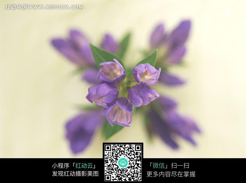 紫色粉色花朵花瓣特写照 紫色花朵花瓣特写照片 四片花瓣的紫色花朵