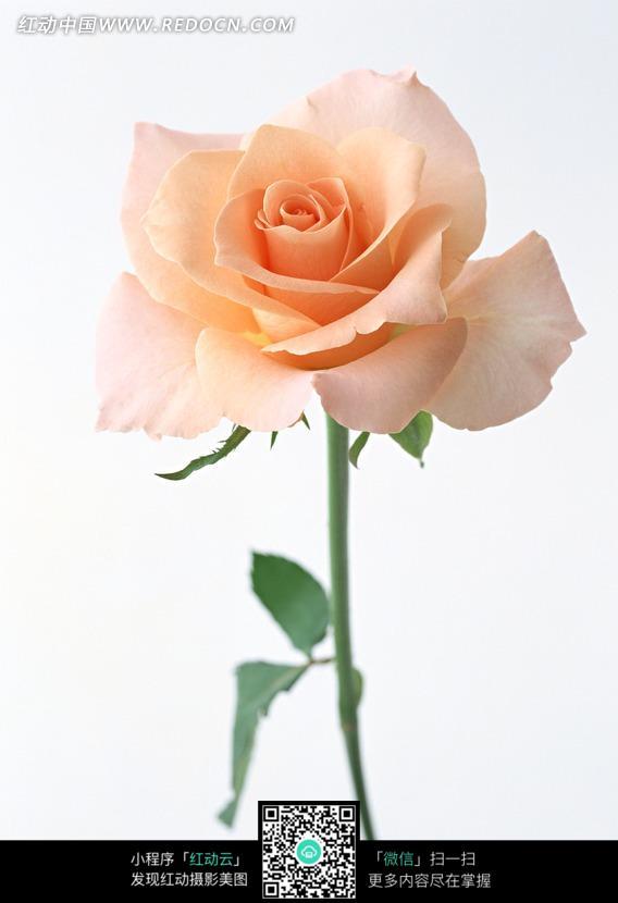 香槟色玫瑰花_香槟色玫瑰表示什么?-