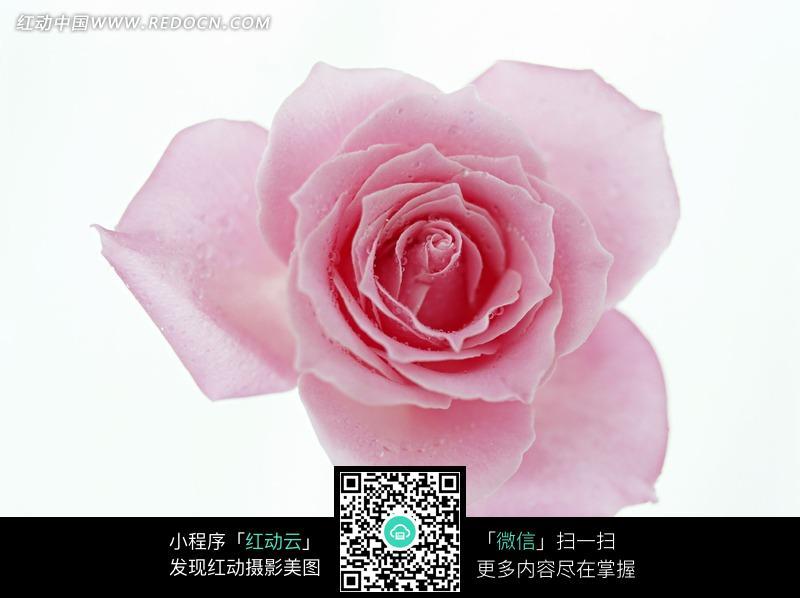 免费素材 图片素材 生物世界 花草树木 漂亮的粉色玫瑰花图片