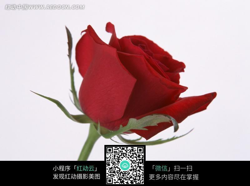 一支红玫瑰图片 花草树木图片图片