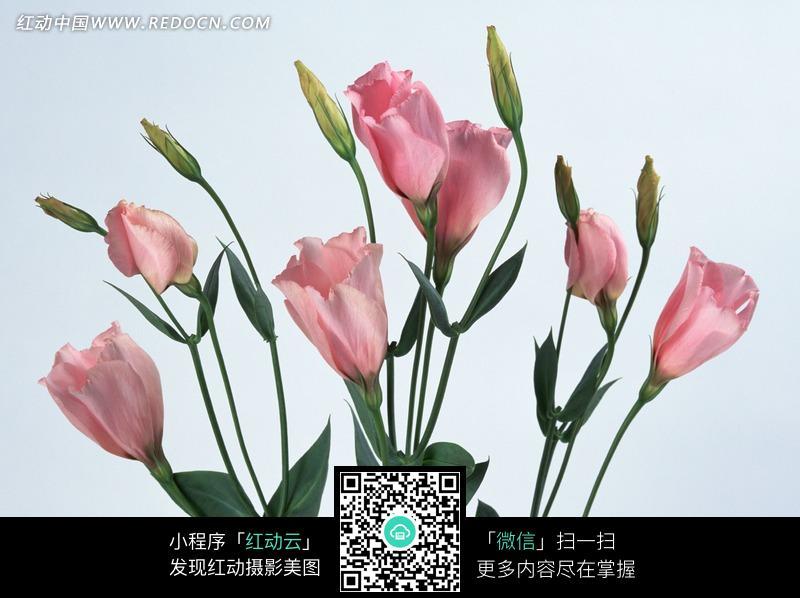 美丽盛开的粉色花朵绿色叶子植物特写照片图片