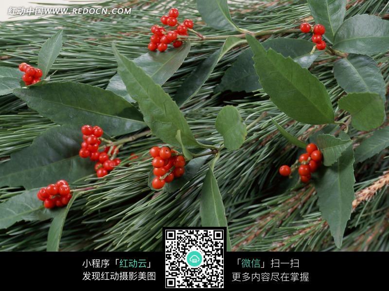 常青树冬青和的摄影特写图片