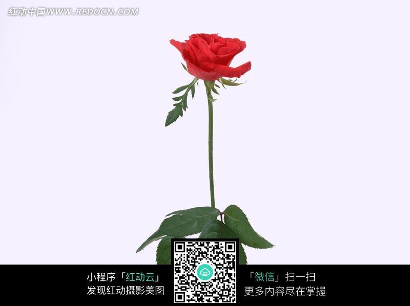 一支红色的玫瑰花图片