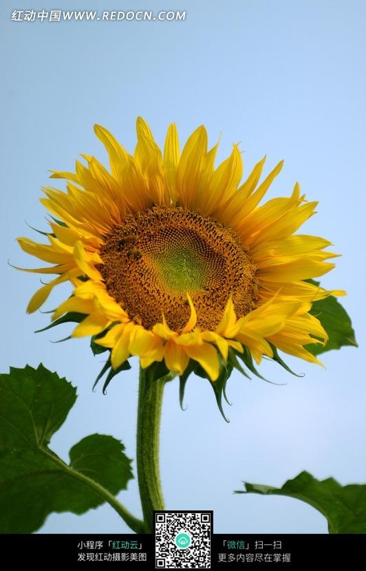 一朵向日葵花图片