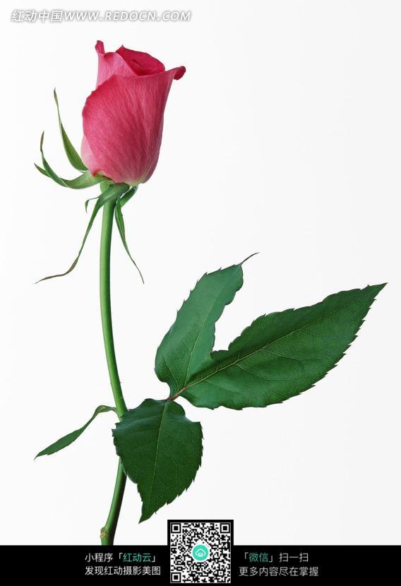 一枝洋红色玫瑰花图片