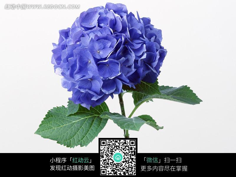 花卉素材-蓝色绣球花图片
