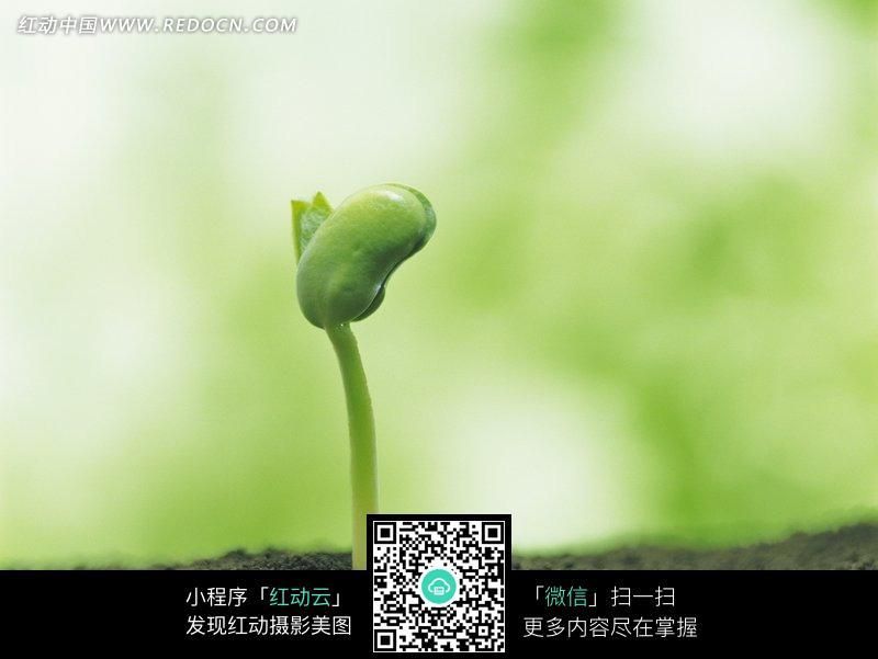 土壤长出的幼芽和乳胚图片_花草树木图片