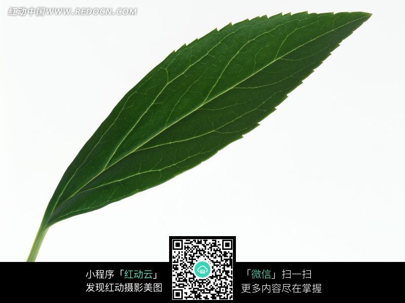 边缘锯齿状的叶子图片图片