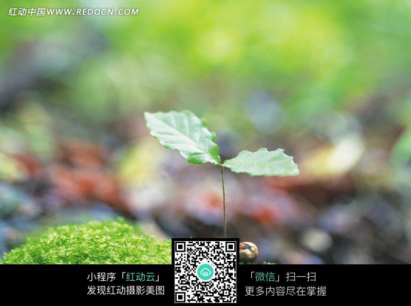 在青苔发芽中一株幼苗图片_花草树木图片