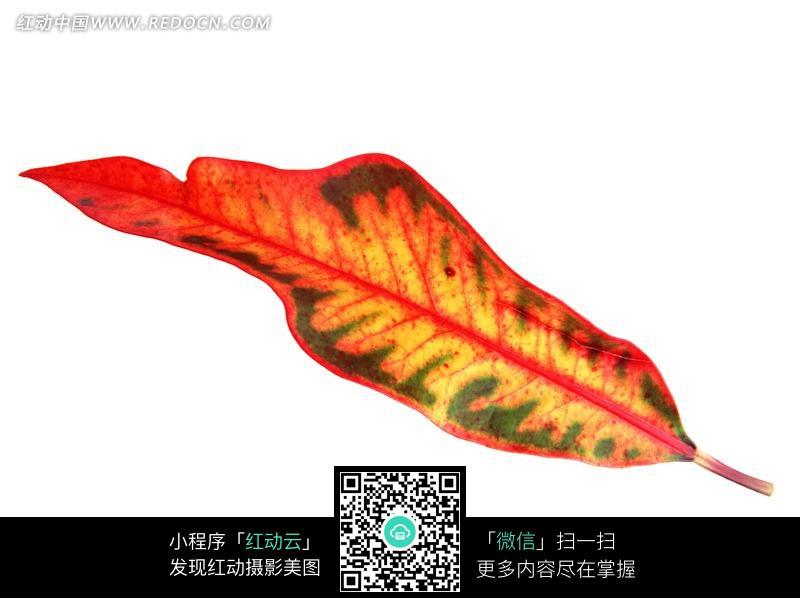 一片红色叶脉的长条形树叶图片