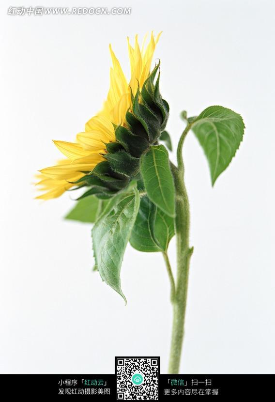 免费素材 图片素材 生物世界 花草树木 向日葵侧面
