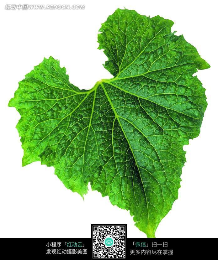 叶脉清晰可见的翠绿叶子图片