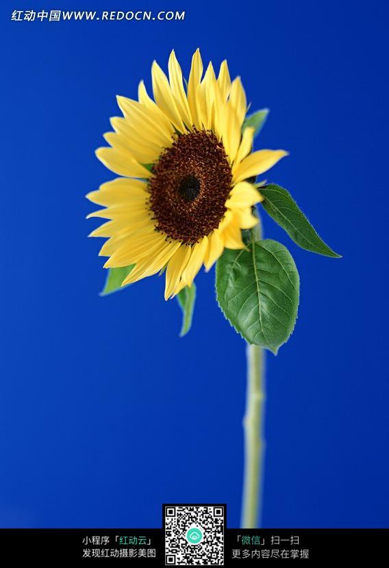 蓝色背景一朵黄色向日葵