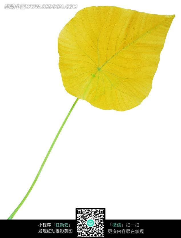 绿色叶脉的柠檬黄色叶子图片
