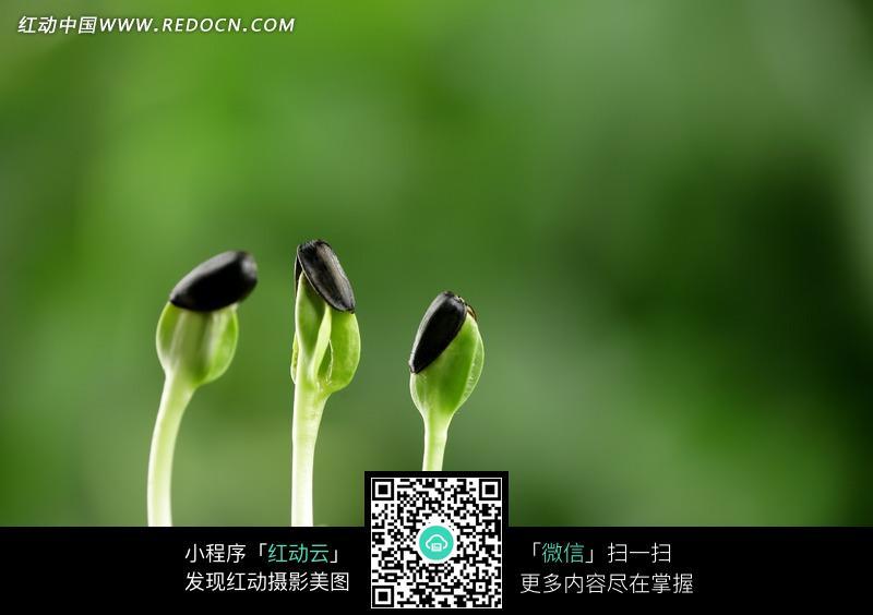 产品宣传背景图_三颗发芽的向日葵种子图片免费下载_红动网