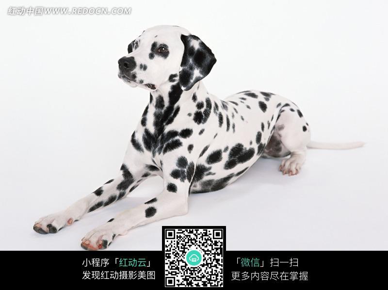 斑点狗素材_陆地动物图片