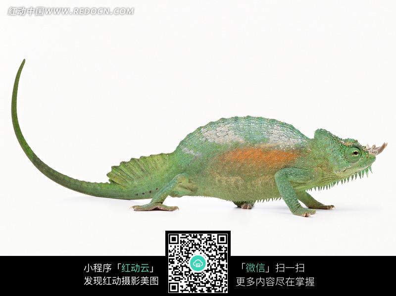 变色龙图片_陆地动物图片