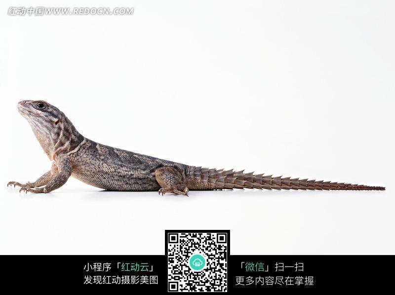 长长尾巴的蜥蜴_陆地动物图片