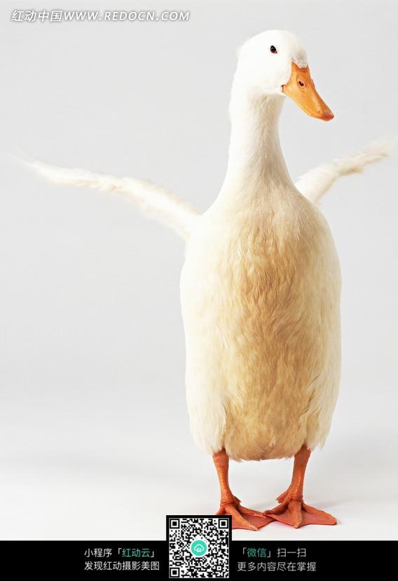 免费素材 图片素材 生物世界 陆地动物 张开翅膀的鸭  请您分享: 素材