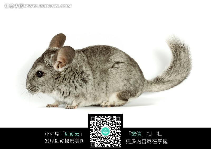免费素材 图片素材 生物世界 陆地动物 一只灰色的老鼠  请您分享