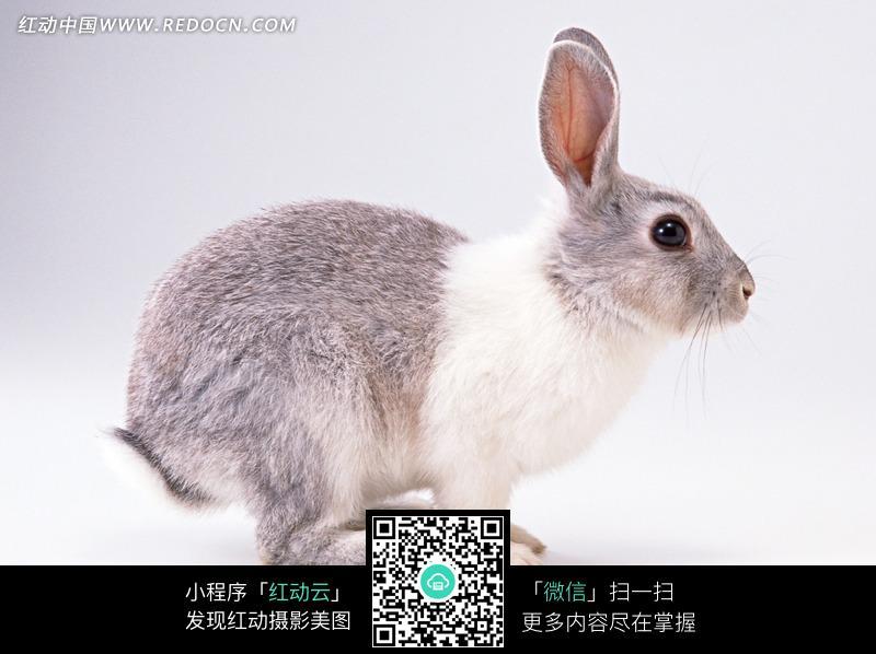 小兔侧面图片_