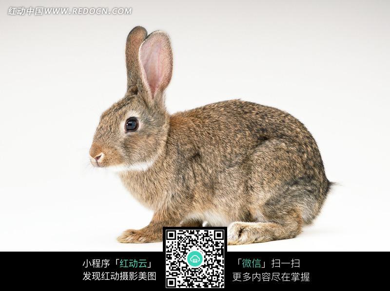 小兔侧面图片_《小兔子的侧面正面后面》正面好看侧面丑正