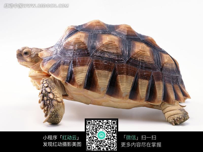 素材描述:红动网提供陆地动物精美素材免费下载,您当前访问素材主题是背着厚重龟壳爬行的乌龟侧面图片,编号是1069455,文件格式JPG,您下载的是一个压缩包文件,请解压后再使用看图软件打开,图片像素是2950*2094像素,素材大小 是745.57 KB。
