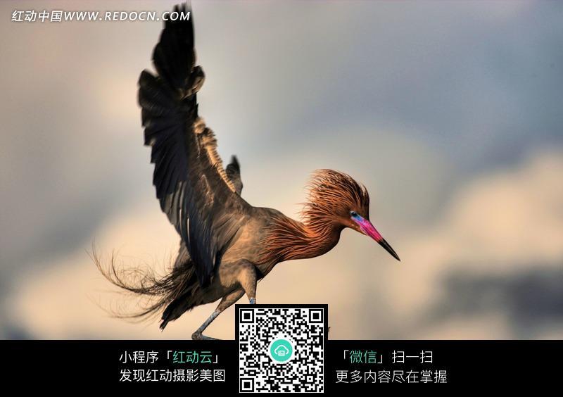 展翅飞翔的红嘴小鸟图片_陆地动物图片