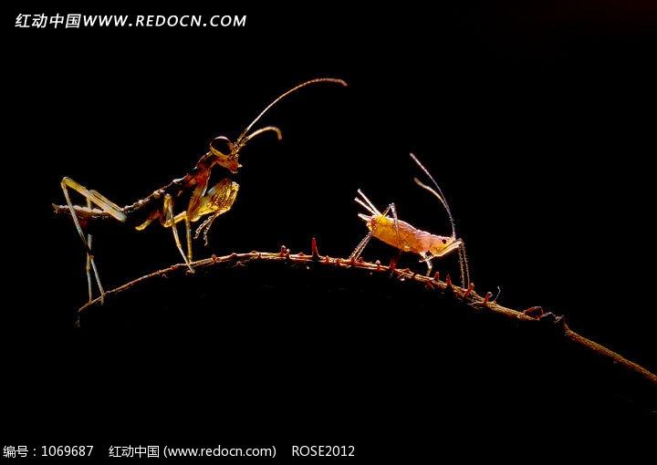 黑色背景上的蚂蚁和蚜虫图片