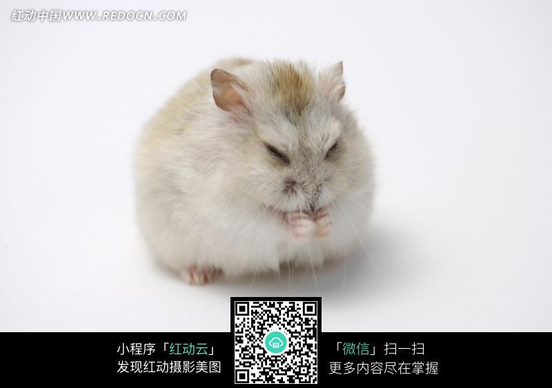 仓鼠侧面图片