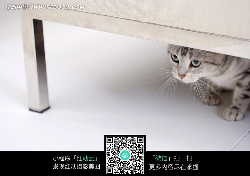 桌子底下的小猫_陆地动物图片_红动手机版