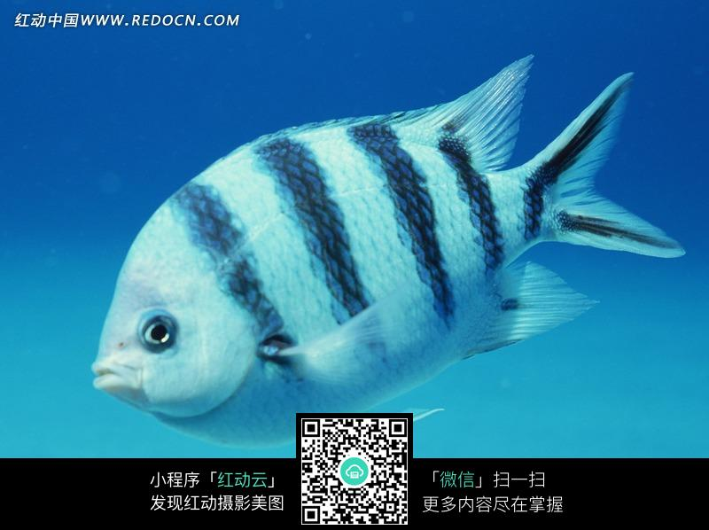 黑白相间花纹的海鱼特写图片图片