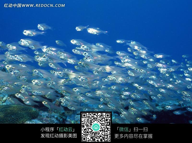 免费素材 图片素材 生物世界 水中动物 > 海洋里的一群白色透明的小鱼