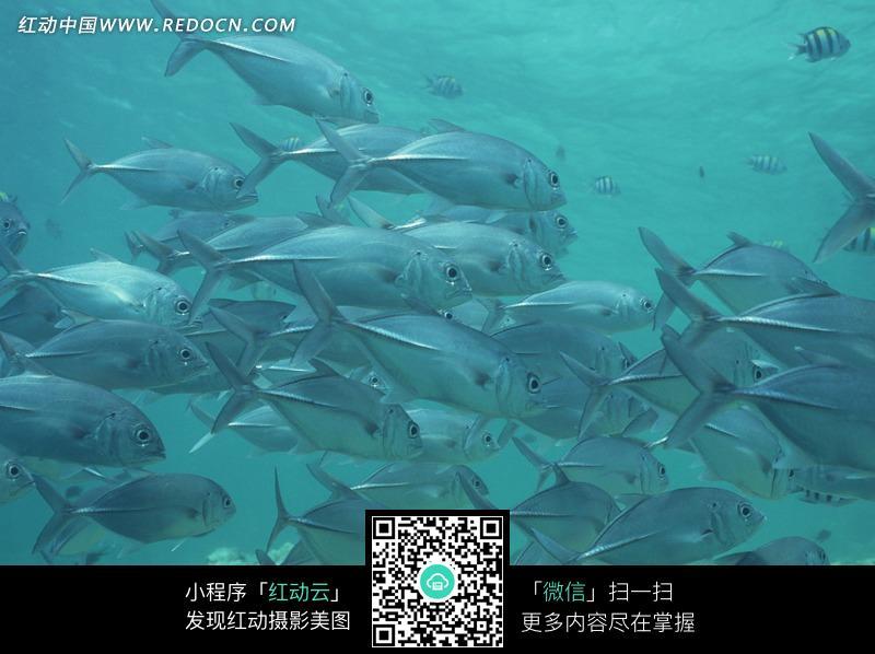 海里的银色鱼群图片_水中动物图片
