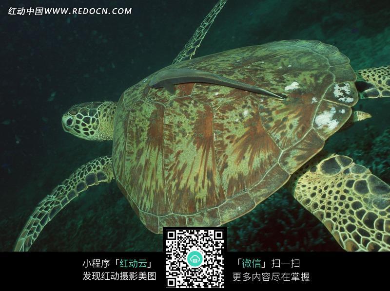 免费素材 图片素材 生物世界 水中动物 在海底游动的海龟  请您分享