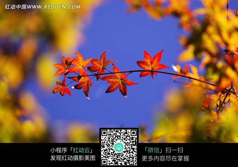生物世界 花草树木 > 树枝上的美丽枫叶图片  免费下载我要改图 素材图片