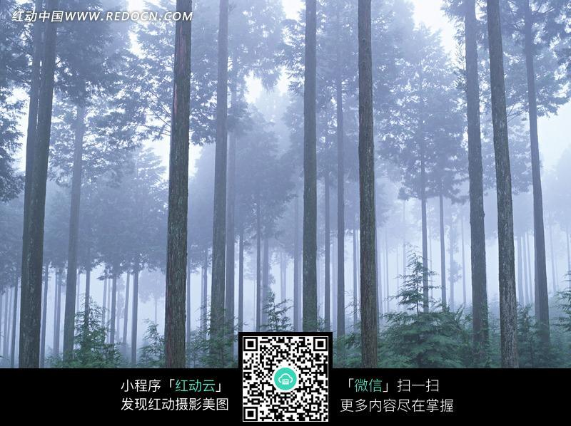 雾气迷蒙 树林 森林 笔直的树干 茂盛的大树  植物图片 植物 摄影图片