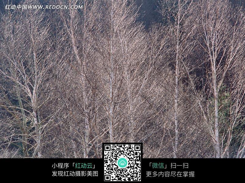 冬季一片干枯的树木图片