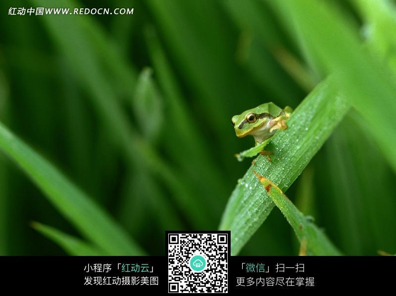 趴在稻田叶子上的青蛙图片免费下载 红动网