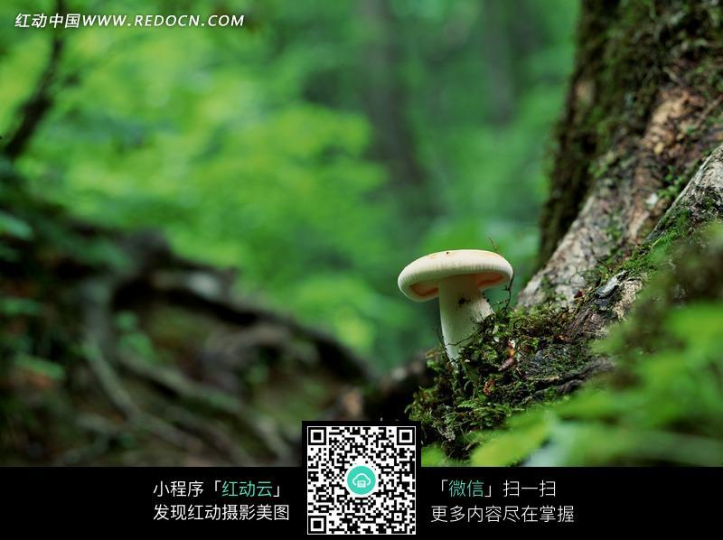 树根上长着的一个白色野生蘑菇图片免费下载 编号1073109 红动网