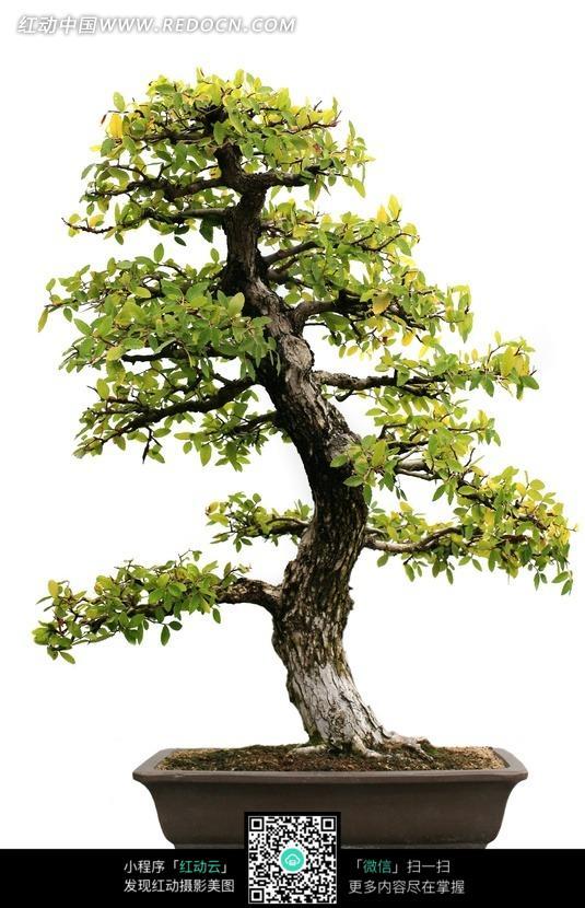 嫩绿叶子树木盆栽图片