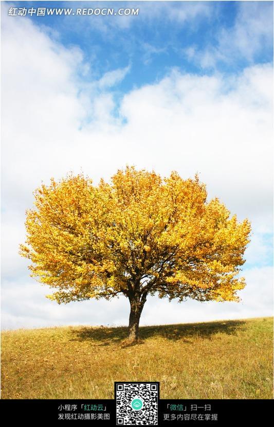 蓝天白云下草地上树叶金黄的树图片