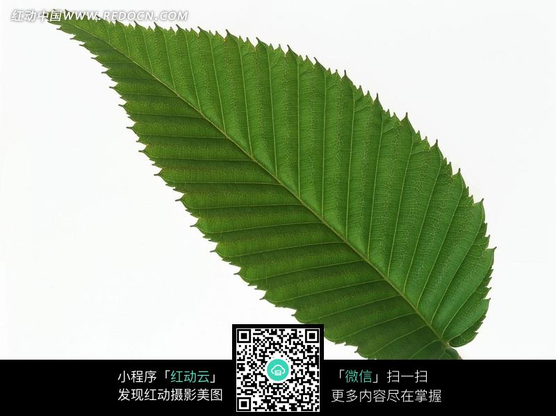 一片锯齿状边缘的树叶图片图片