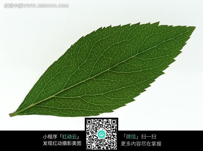 一片锯齿状边缘的叶子图片