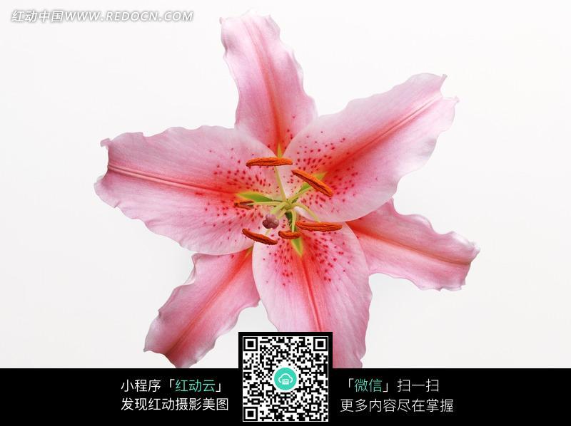 粉红色百合花正面特写; 粉色百合花图片; 花朵花瓣图片ppt模板;