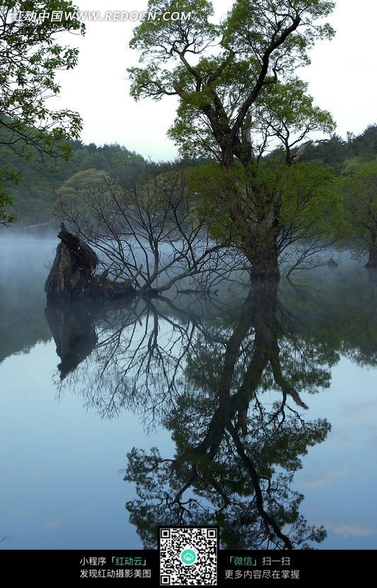 水中生长的大树和倒影图片