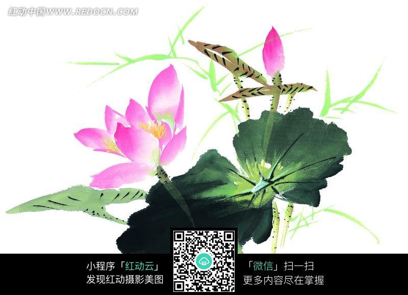 盛开的粉色荷花和花苞水墨画